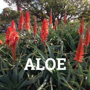 Spotlight: Why Aloe Is So Much More than Aloe Vera