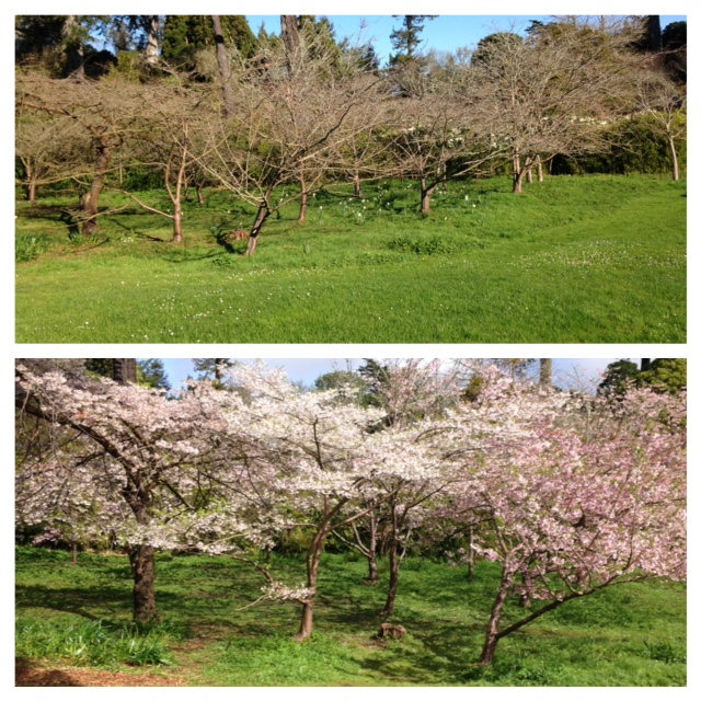 flowering cherry trees: winter/spring comparison