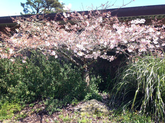 prunus yedonensis 'Akebono' - Daybreak Yoshino cherry