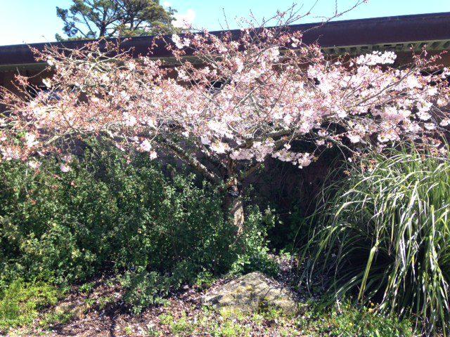 prunus yedonensis 'Akebono' - Daybreak Yoshino cherry