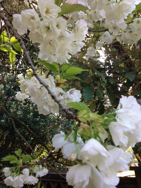 double white flower, Japanese flowering cherry close-up