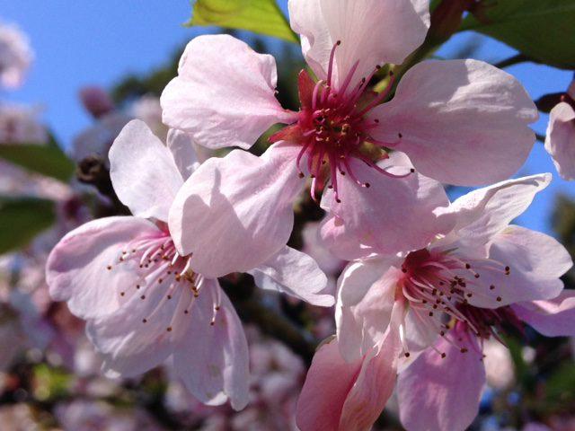 single flowering, light pink, close-up