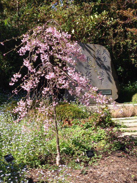 Prunus 'Pisnshzam' - Pink snow showers weeping cherry tree