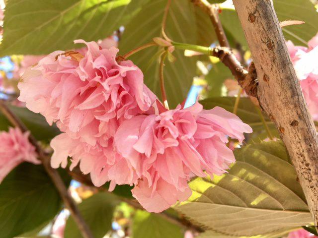 double dark pink flowers of Prunus 'Kwanzan'