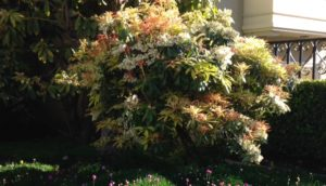 Pieris 'Mountain Fire'