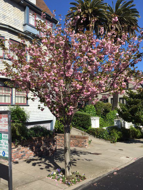 Prunus 'Kwanzan' in San Francisco