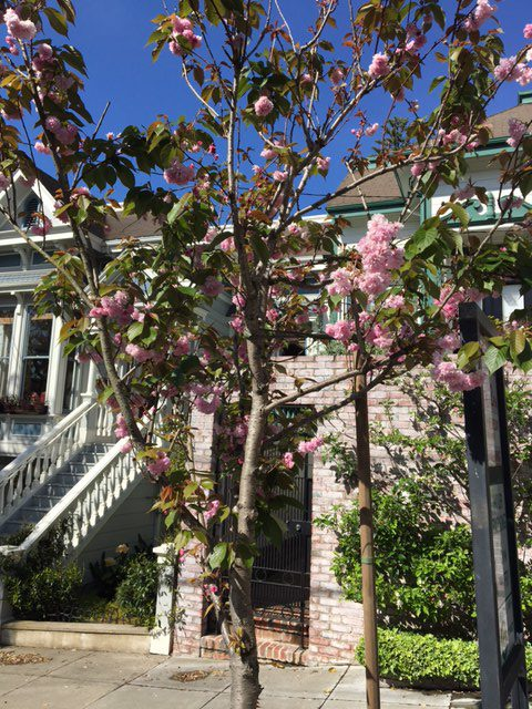 Prunus serrulata 'Kwanzan' in San Francisco