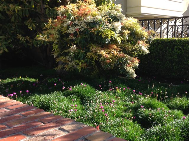 armeria lawn with pieris