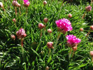 lawn of armeria maritima