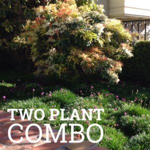 two plant combo: pieris and armeria