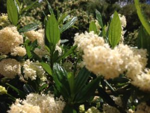 Ceanothus 'Snow Flurry'