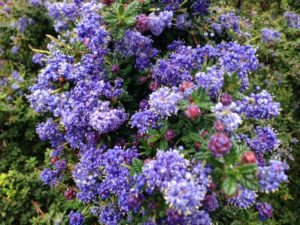 6 california native plants for spring flowers ceanothus joyce coulter joyce coulter ceanothus flowers mightylinksfo
