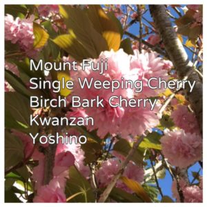 favorite types of flowering cherry trees