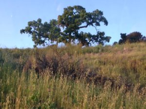 grasses and oak tree