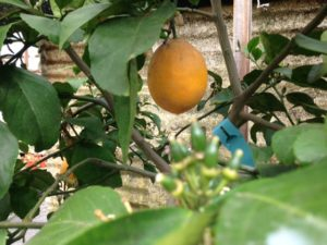 meyer lemon and with fruit maturing