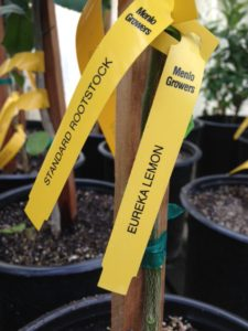 Eureka lemon in nursery pot