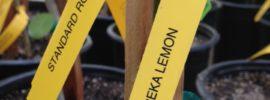 Eureka lemon in nursery pot