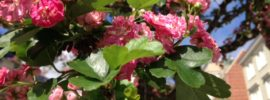 Crataegus laevigata 'Paul's Scarlet' English Hawthorne San Francisco Street tree