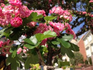 Crataegus laevigata 'Paul's Scarlet' English Hawthorne San Francisco Street tree