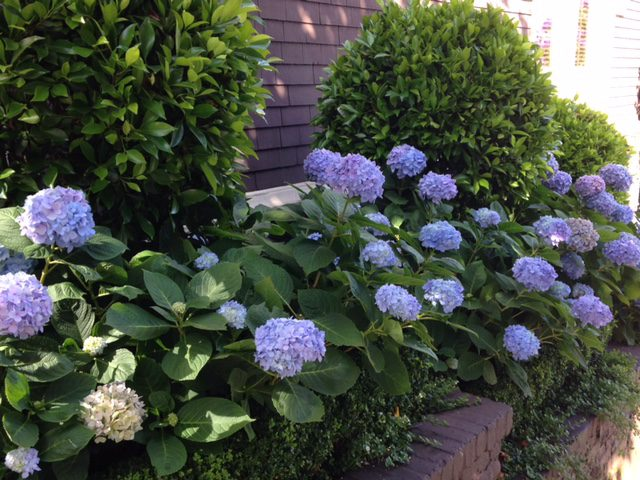 blue mop head hydrangeas