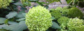 mop-head green hydrangea