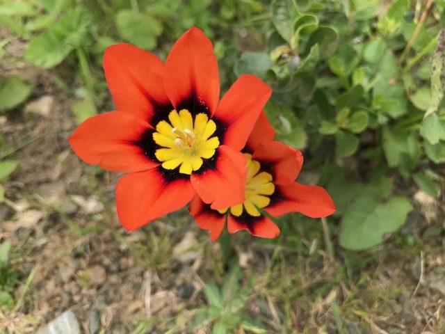 unknown wildflower, marin headlands california, spring