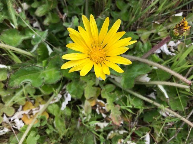 wildflower of marin headlands, ca