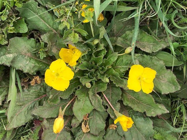 Camissonia ovata - Suncups