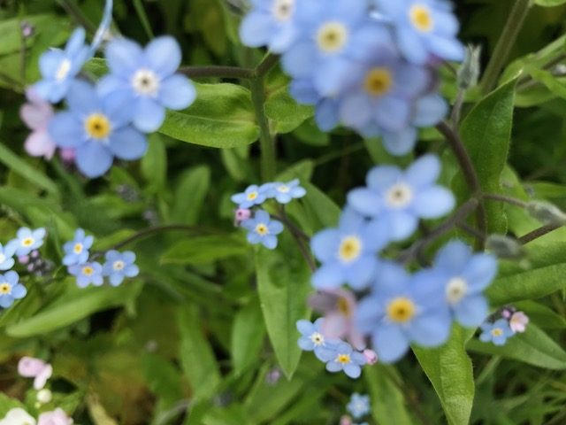 Myosotis discolor - Forget-me-not