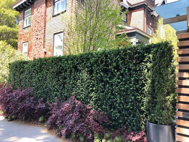 Boxwood Screening Hedge. San Francisco, CA