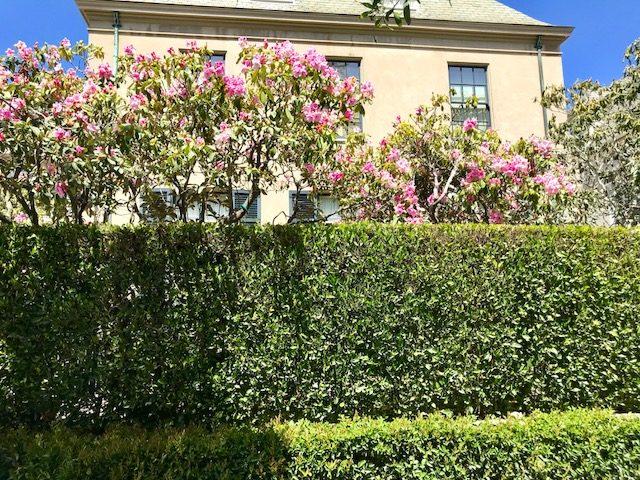 Ficus retusa nitida hedge, San Francisco, CA