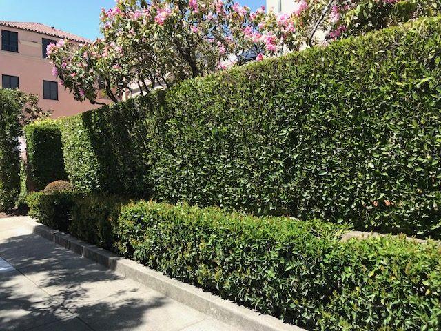 Tall Ficus retusa nitida hedge, San Francisco, CA