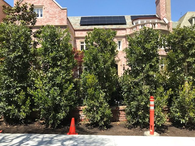 Ficus retusa nitida large columns, just planted