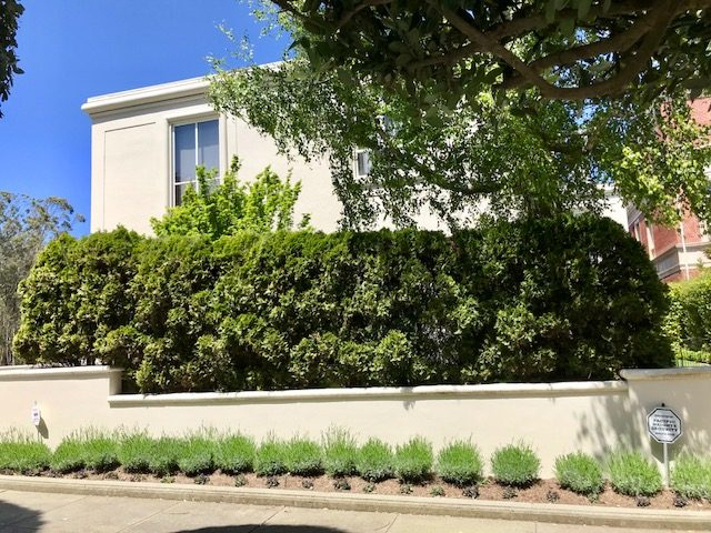 Thuja (Arborvitae) hedge. San Francisco