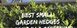 best small hedges for privacy and screening