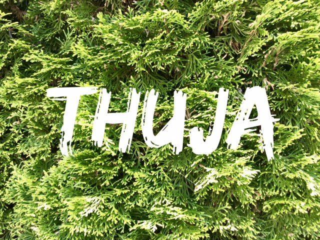 Thuja - foliage close up
