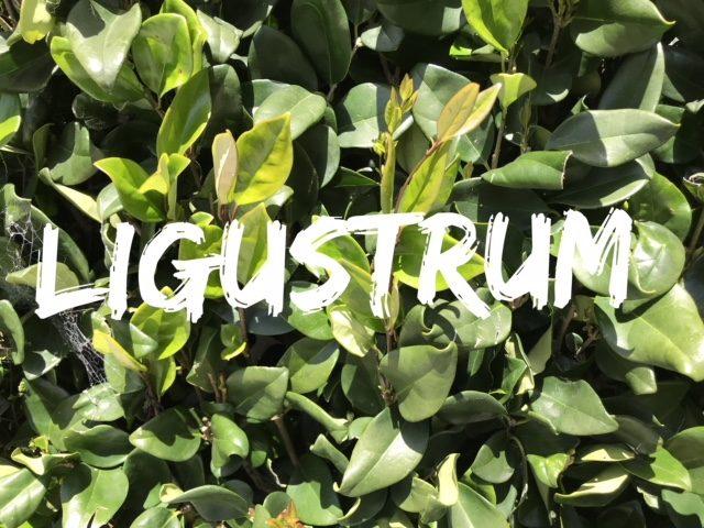 ligustrum - privet foliage closeup
