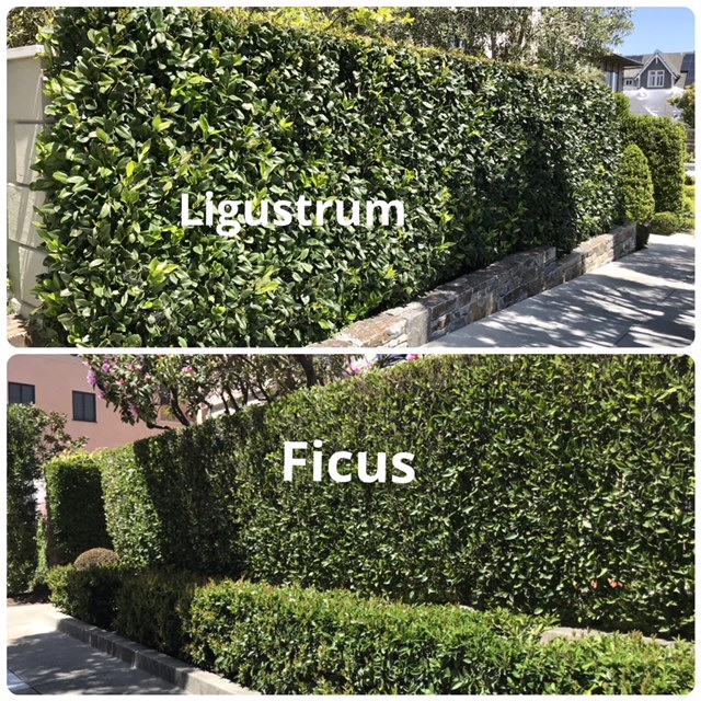Comparison: Ficus and Thuja and hedges San Francisco