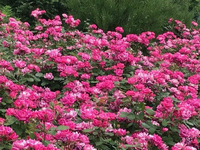 red carpet roses, Hudson River Park, NYC