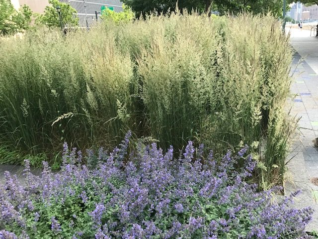 nepeta and grasses planted in mass, chelsea, hudson River park
