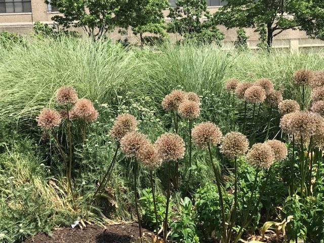 Allium globmaster bulbs and grasses at Hudson River Park, NY