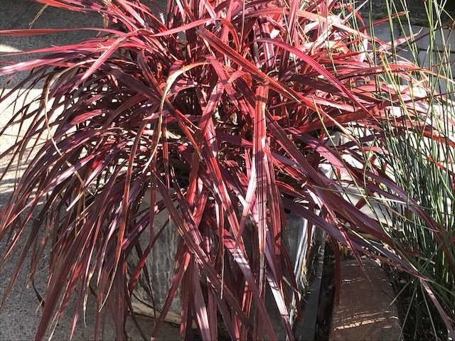 Cordyline 'Design A line Burgundy' in pot. San Francisco, CA