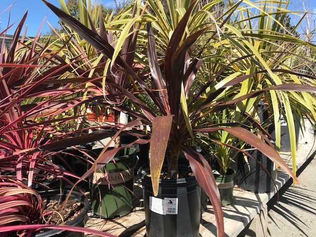 Cordyline 'Renegade' 5 gallon container