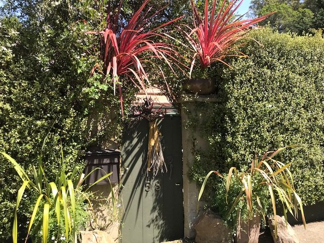 Cordyline 'Electric Pink' in Containers. Mill Valley, CA