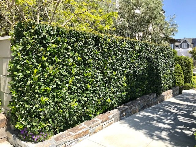 ligustrum japonicum hedge, San Francisco