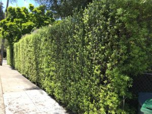 Pittosporum tenuifolium hedge