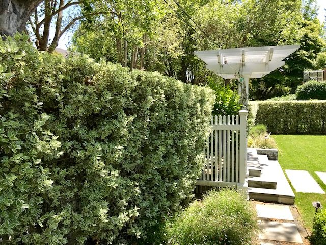 Pittosporum t. Silver Magic' tightly pruned hedge. Mill Valley, CA