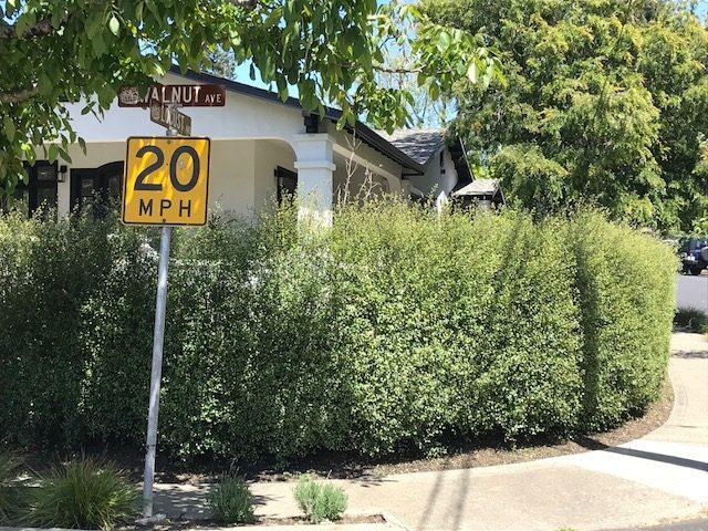 Pittosporum t. 'Silver Sheen' hedge. Mill Valley, CA