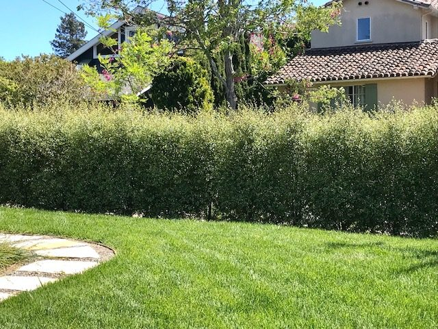 Pittosporum t. 'Silver Sheen' 7 foot screening hedge. Mill Valley, CA