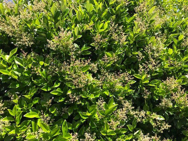 Ligustrum japonicum with flowers, Mill Valley, CA